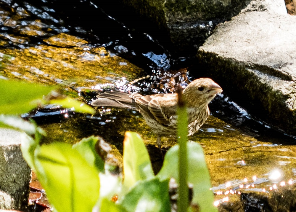 House Finch female (1 of 1)