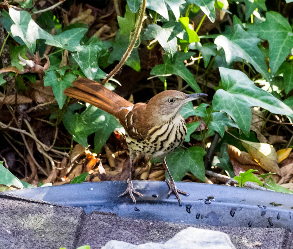 Brown Thrasher 2 (1 of 1)