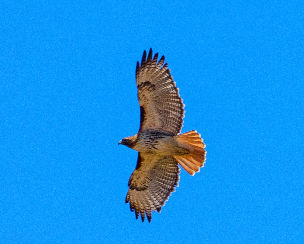 Red-tailed hawk-tp