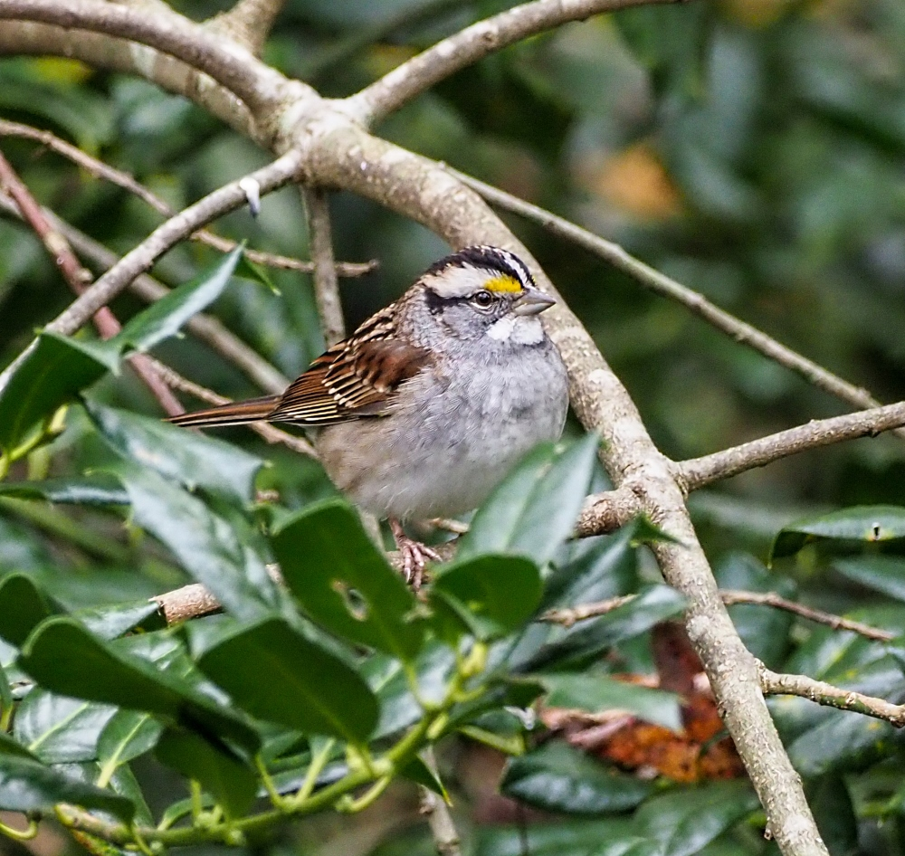 White -throated Sparrow (1 of 1)-3