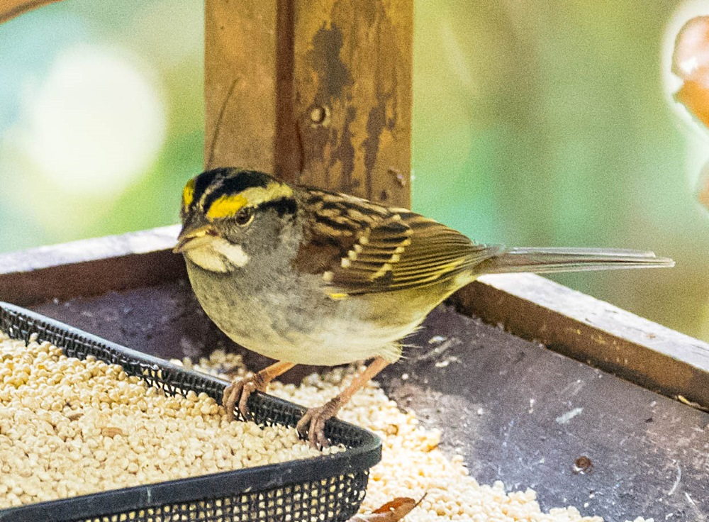White-throated sparrow (1 of 1)
