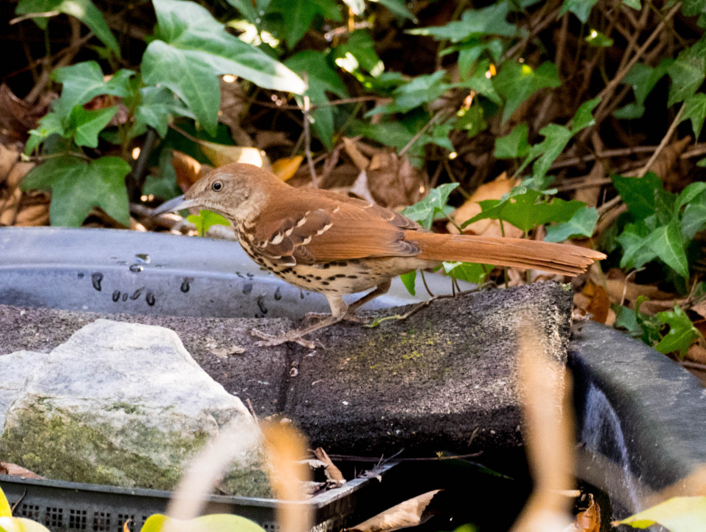 Brown Thrasher (1 of 1)