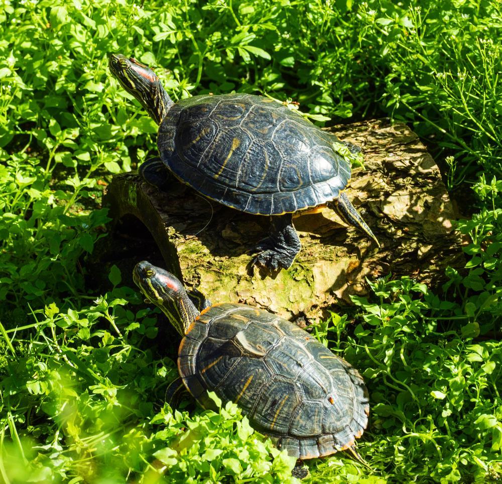 2 turtles-1