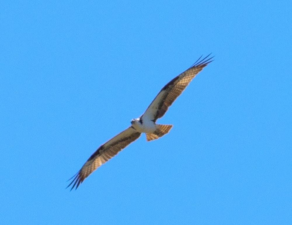 Osprey tp