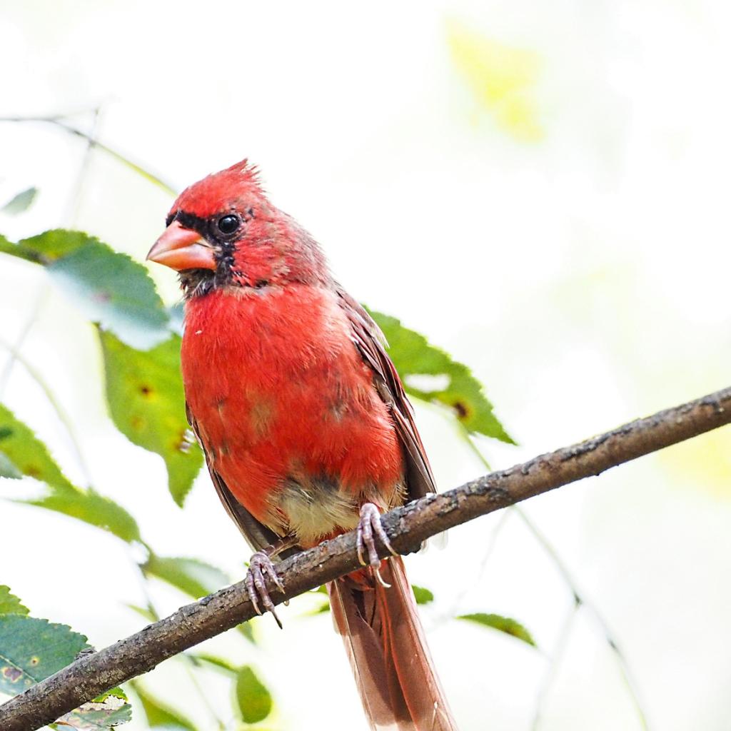 Cardinal (1 of 1)