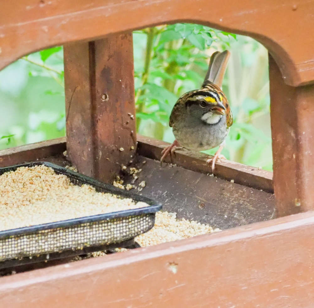 White -throated Sparrow (1 of 1)-2