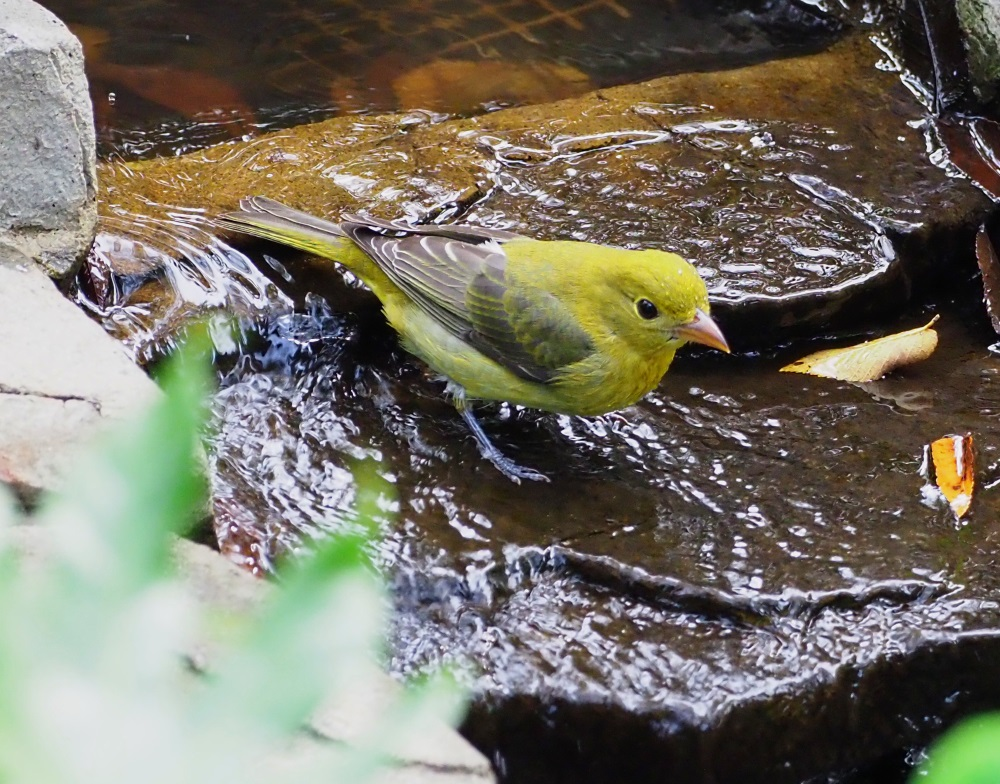 Summer Tanager 2