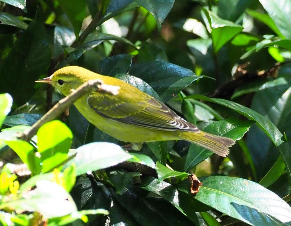 Yellow Warbler1000